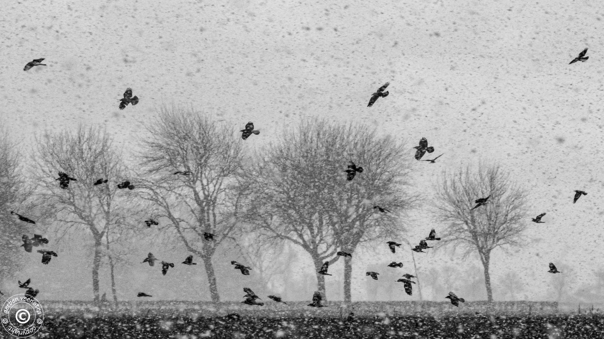 Kraaien in sneeuwbui